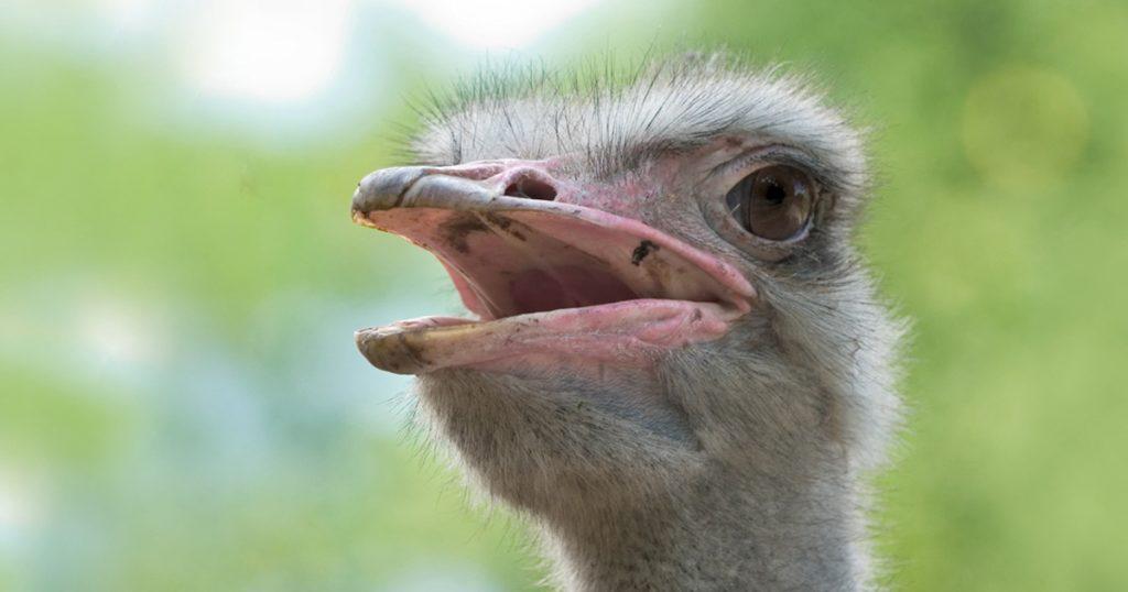 struisvogel-fb